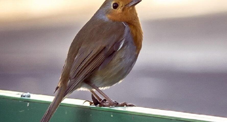 Robin at Arnos Vale