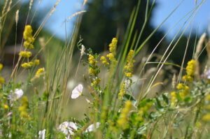 Lady's bedstraw and field bindweed