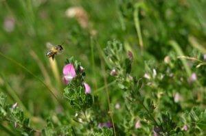 Bee on common restharrow