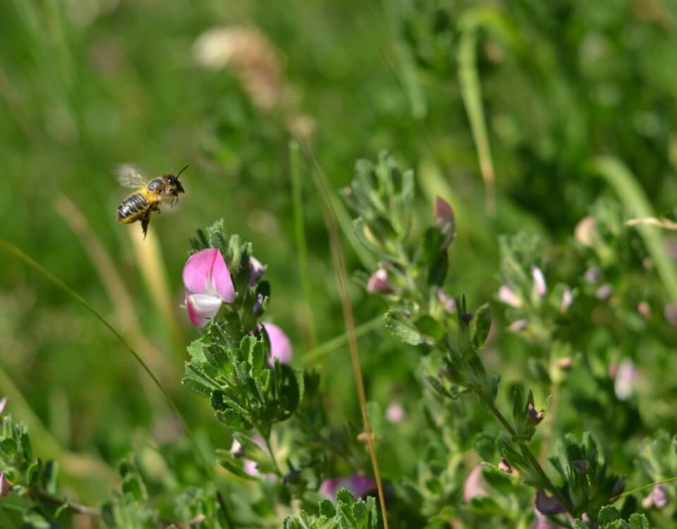 Bee on common restharrow