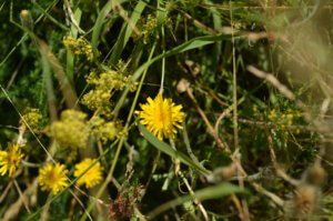 ough hawkbit and lady's bedstraw