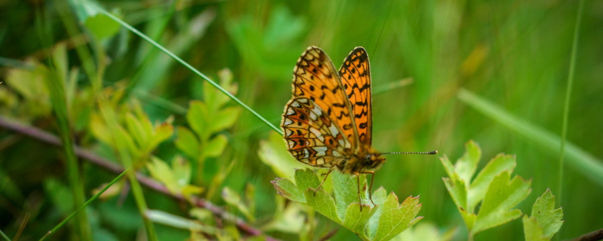 Brown spotted butterfly wings up on a leaf