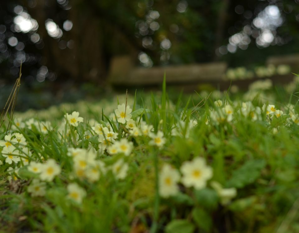 Yellow Primroses at Arnos Vale in April