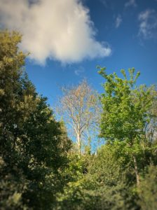 Ash canopy and sky