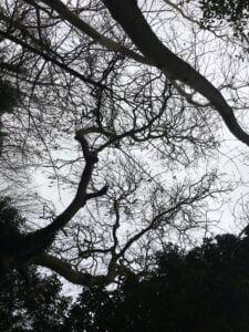 Ash tree from below Jo Bushell
