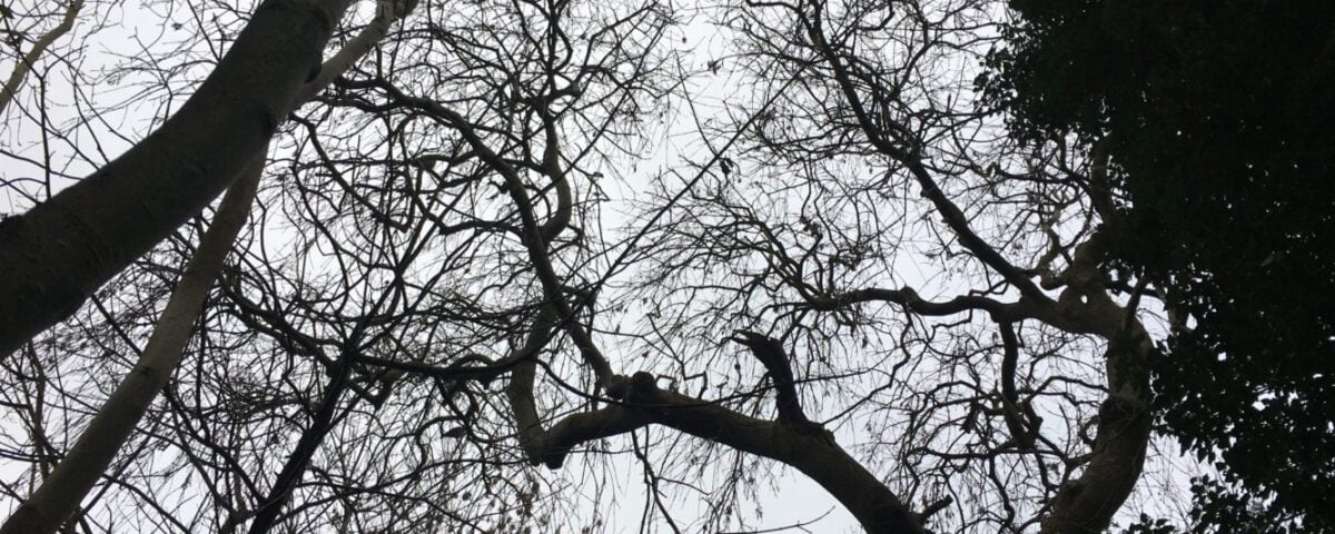 Looking up to a ash tree canopy at Arnos Vale cemetery